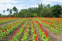 Salvia fält Arkivbild