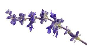 Salvia farinacea、蓝色salvia、粉性的杯子贤哲或者粉性的贤哲开花开花与叶子,隔绝在白色背景 库存照片