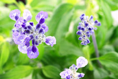 Salvia Farinacea Royalty Free Stock Images