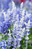 Salvia farinacea Benth。 免版税库存图片
