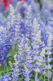 Salvia farinacea Benth。 库存图片