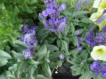 Salvia farinacea 'Evolution Violet', Evolution Violet Mealy cup sage. Cultivar with compact plants with deep violet pirple flowers on up to 10 inch long stock images