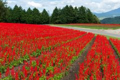 Salvia farm royalty free stock photo