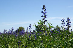 In the salvia field. Close up image from a salvia field Stock Image