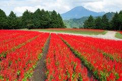 Salvia field and mount Daisen royalty free stock photos