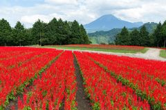 Salvia field and mount Daisen stock photography