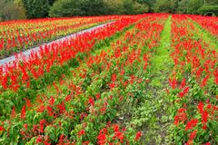 Salvia field in red Royalty Free Stock Photography