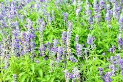 Salvia Flower Image libre de droits