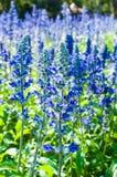 Salvia Flower Fotografía de archivo