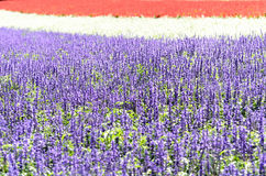 Salvia flower garden. Royalty Free Stock Photos