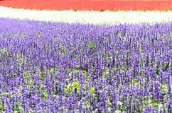 Salvia flower garden. Royalty Free Stock Photos