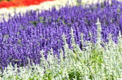 Salvia flower garden. Stock Photography
