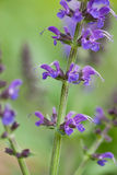Salvia flower in the garden royalty free stock image
