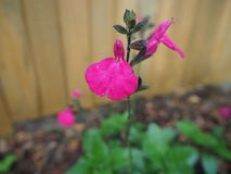 Salvia flower `Hot Lips` with raindrops on petals royalty free stock photography