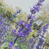 Salvia flower Royalty Free Stock Images