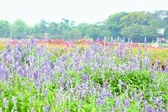 Salvia Flower Stock Photo