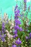 Salvia4 Royalty Free Stock Photos