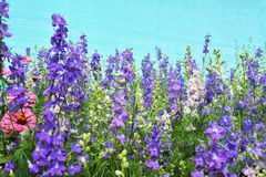 Salvia5. Salvia Flower plant garden photograph Royalty Free Stock Photography