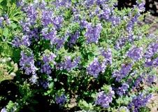 Salvia Flower Plants porpora fotografia stock