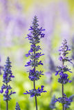 Salvia flower. Salvia splendens Sell ex Roem. & Schult.Small herbaceous flowering stems erect, with both varieties and species of shrub stems and leaves. Covered stock image