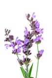 Salvia flowers. On a white background Royalty Free Stock Images