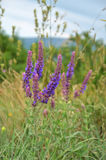 Salvia flowers Royalty Free Stock Images