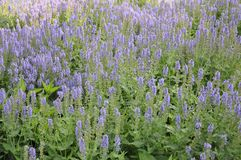 Salvia Flowers Blossom Background from Downtown of Niagara-on-the-Lake in Ontario province. Of Canada on 25th June 2017 Royalty Free Stock Photography