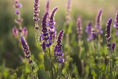 Salvia flowers on a meadow. Summer sunny meadow Royalty Free Stock Photography