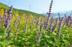 Salvia flowers on mountain meadow Stock Image