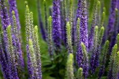 Salvia Flowers púrpura Imagen de archivo