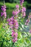 Salvia Flowers porpora Fotografia Stock Libera da Diritti