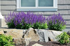 Salvia Flowers and Rock Retaining Wall. At a Residential Home royalty free stock photos