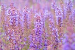 Salvia flowers Stock Photo
