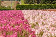 Salvia Flowers Royalty Free Stock Photo
