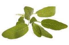 Salvia fresca Fotografia Stock