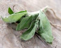 Salvia fresca Immagine Stock Libera da Diritti