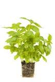 Salvia fresca Fotografia Stock Libera da Diritti