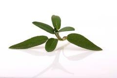 Salvia fresca Immagine Stock