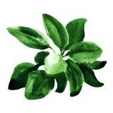 Salvia fresca isolata su fondo bianco Immagini Stock Libere da Diritti