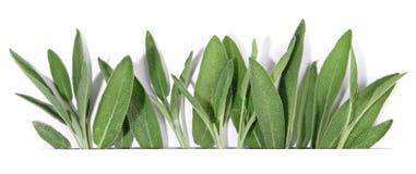 Salvia fresca - panorama fotografia stock libera da diritti