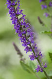 Salvia in the garden Royalty Free Stock Photos
