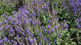 Salvia Garden Royalty Free Stock Photo
