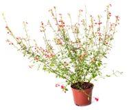 Salvia grahamii hot lips Royalty Free Stock Photo