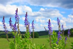 Salvia grass flower in the field and blue sky. Stock Image