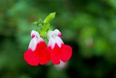 Salvia greggii, autumn sage. Salvia greggii autumn sage is a herbaceous perennial native to a long, narrow area from southwest Texas, through the Chihuahuan stock image