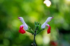 Salvia greggii, autumn sage. Salvia greggii autumn sage is a herbaceous perennial native to a long, narrow area from southwest Texas, through the Chihuahuan stock photography