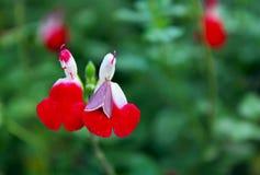 Salvia greggii, autumn sage. Salvia greggii autumn sage is a herbaceous perennial native to a long, narrow area from southwest Texas, through the Chihuahuan stock photo