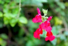 Salvia greggii, autumn sage. Salvia greggii autumn sage is a herbaceous perennial native to a long, narrow area from southwest Texas, through the Chihuahuan stock photos