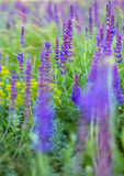 Salvia Royalty Free Stock Image
