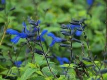 Salvia-guaranitica, das viel Aufmerksamkeit erhält stockbild